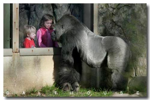 gorillawwindowzoo.jpg